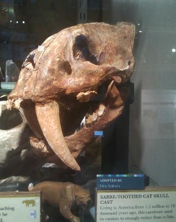 Grant Museum of Zoology: Tigre à dents de sabre