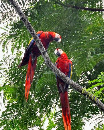 Playa Nicuesa Rainforest Lodge: Macaws high in the trees.