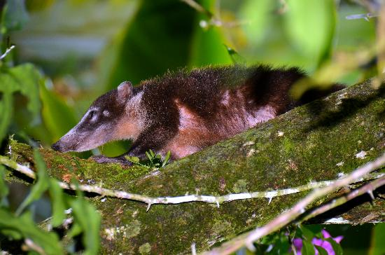 Playa Nicuesa Rainforest Lodge: White nosed Coati at Nicuesa Lodge.