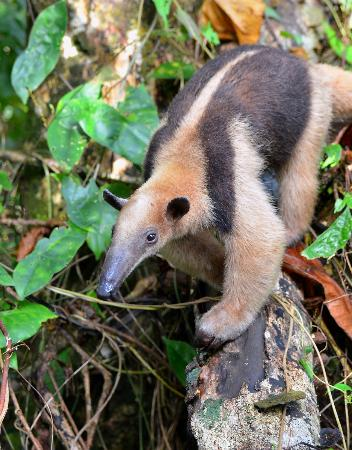 Playa Nicuesa Rainforest Lodge: Tamandua at Nicuesa Rainforest Lodge