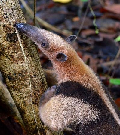 Playa Nicuesa Rainforest Lodge: Tamandua searching for Termites at Nicuesa.