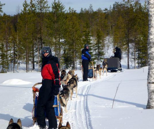 Saija Oy: Maximal sechs Hundeschlitten bilden ein Team auf Saija's Touren.