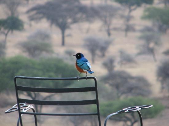 Tarangire Safari Lodge: Bird on the terrace