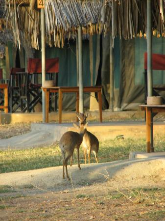 Tarangire Safari Lodge: Gazelles roaming around between the tents