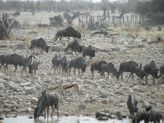 Etosha National Park, Namibia: springbok, oryx, kudus and more