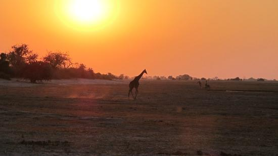 Sanctuary Chobe Chilwero: sunset with giraffe at Chobe