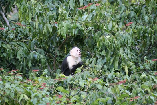 Punta Marenco Lodge: White-faced Capuchin monkey right in front of our cabin