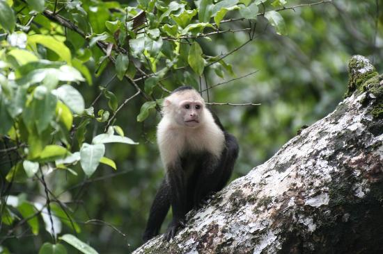 White-faced Capuchin monkey at the Punta Marenco Lodge beach