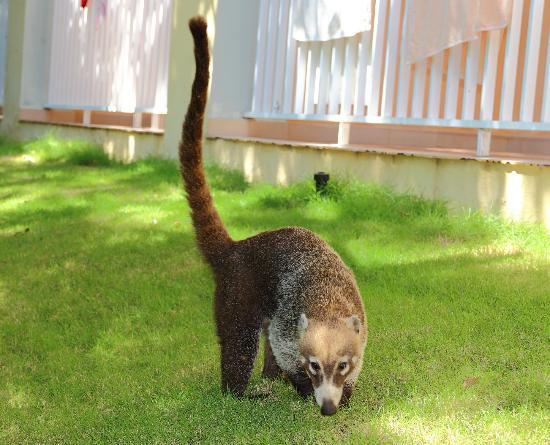 Hotel Riu Yucatan: Koati no jardim