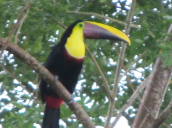 Arenal Kioro: A Tucan on the Hotel Grounds
