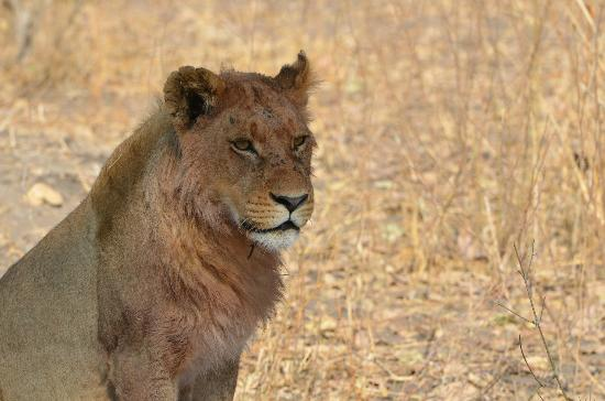 Wilderness Safaris Mombo Camp: One of many, many lions