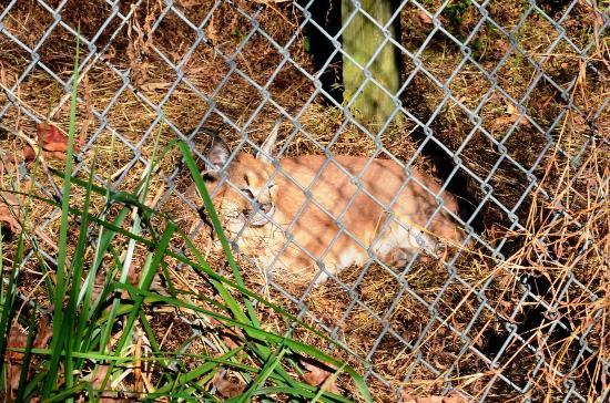 Carolina Tiger Rescue: Caracal