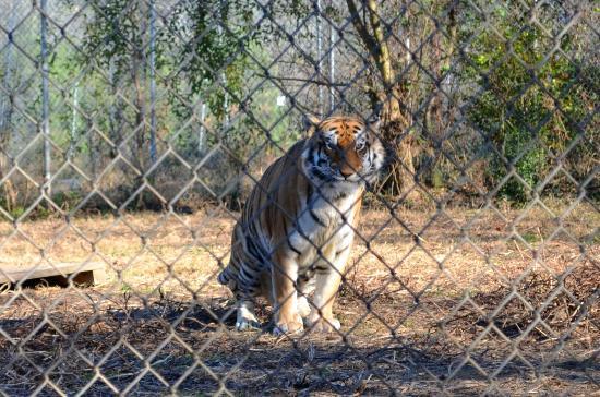 Carolina Tiger Rescue: Rajaji the Tiger