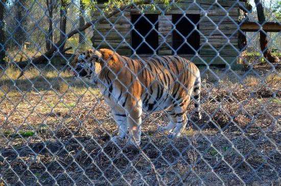 Carolina Tiger Rescue: Rajaji Flehmening