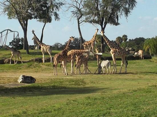 Busch Gardens Tampa: jirafas en el recorrido de zoologico