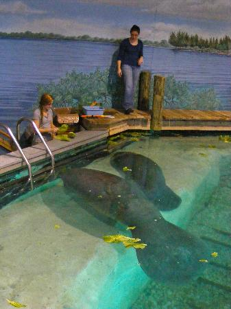 South Florida Museum and Bishop Planetarium: Feeding time at the manatee aquarium