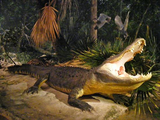 South Florida Museum and Bishop Planetarium: Alligator
