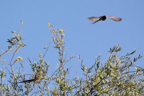 Olive Grove: Mousebird in Jacaranda