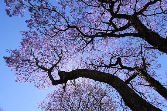 Olive Grove: Jacaranda Blossoms