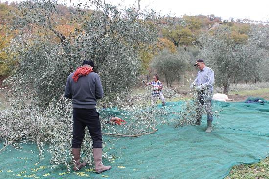 Agriturismo Le Casacce: Durante la raccolta
