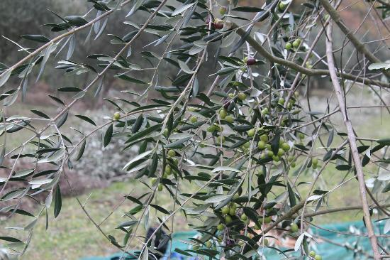 Agriturismo Le Casacce: Le olive sugli alberi