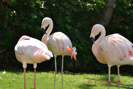 Hyatt Regency Maui Resort and Spa: Flamingos im Gehege