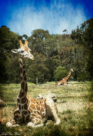 Werribee Open Range Zoo: Lofty heights