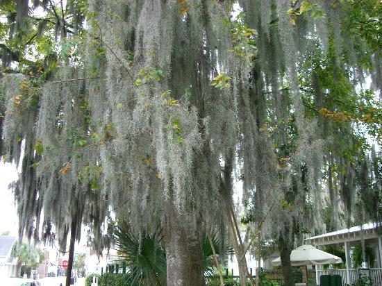 The Beaufort Inn: Spanish Moss all over the trees, just beautiful