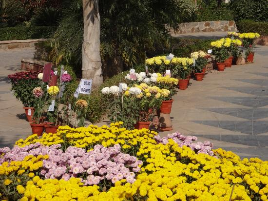 New Delhi, India: chrysanthemums