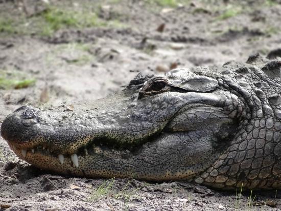 St. Augustine Alligator Farm Zoological Park: Gators