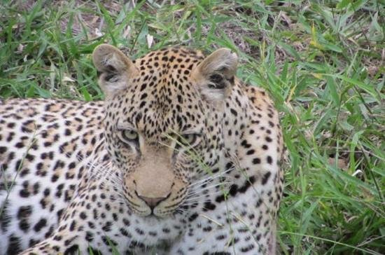 Ulusaba Safari Lodge: beautiful leopard