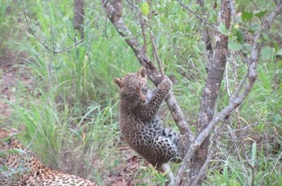 Ulusaba Safari Lodge: The 3 month old leopard girl
