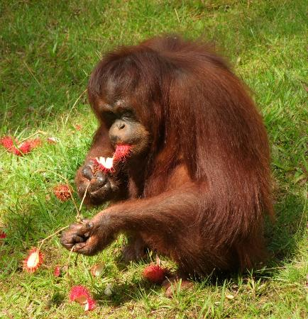 The Great Orangutan Project: Enjoying a feast of rambutan