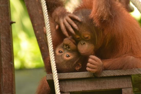 The Great Orangutan Project: Infant orang-utans pause for a rest on the nursery climbing frame