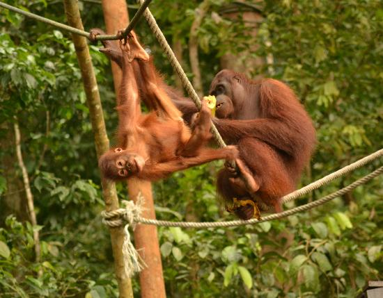 The Great Orangutan Project: Ghanti and baby at the feeding platform out in the jungle