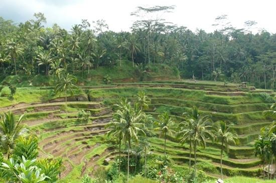 View picture of tegalalang rice terrace ubud tripadvisor for Tegalalang rice terrace ubud