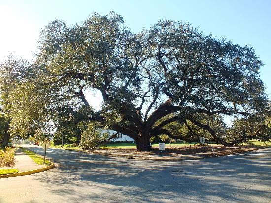 "BEST WESTERN Rose City Conference Center Inn: Largest ""live"" oak tree"
