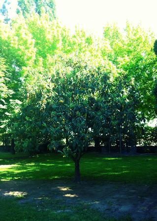 Lujan de Cuyo B&B: Apricot tree