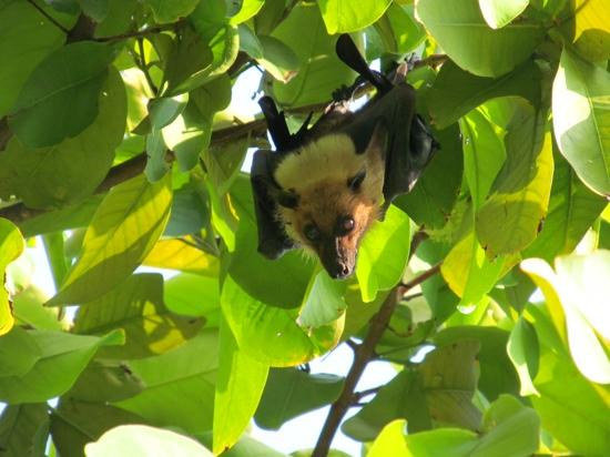 Bandos Maldives: Fruit Bats everywhere!