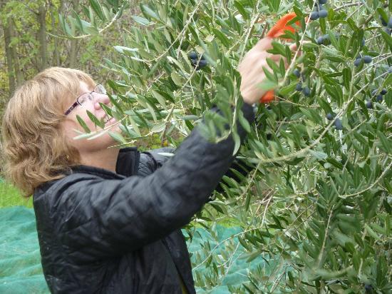 Agriturismo La Volpe e l'Uva : Picking olives
