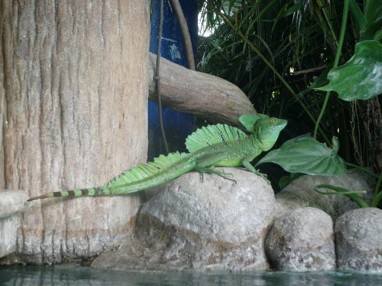 Los Lagos Hotel Spa & Resort: an iguana lounging about beside the wet bar
