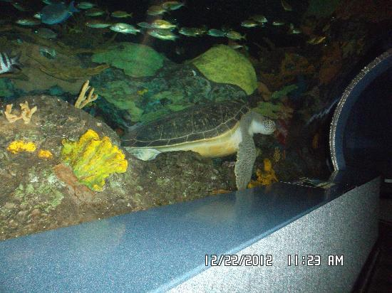 Ripley's Aquarium of the Smokies: Turtle