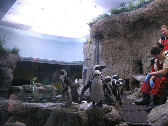 Ripley's Aquarium of the Smokies: Feeding of Penguins 