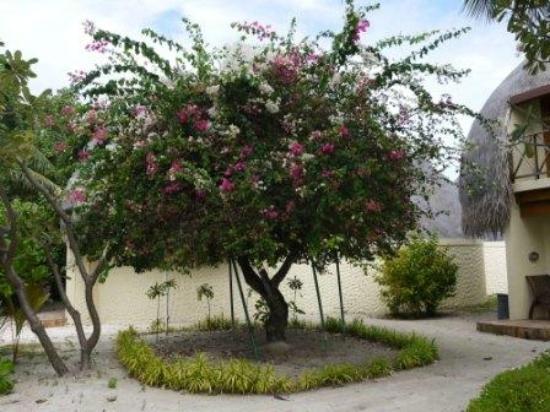 Bandos Maldives: дерево около пляжной виллы