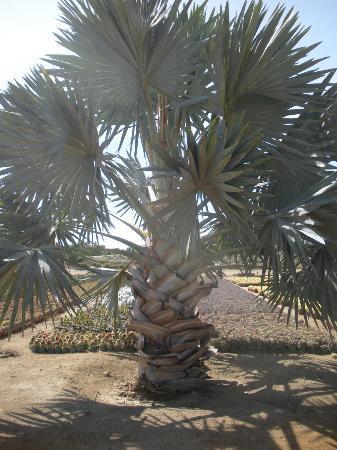 Wirikuta Garden: palm fronds