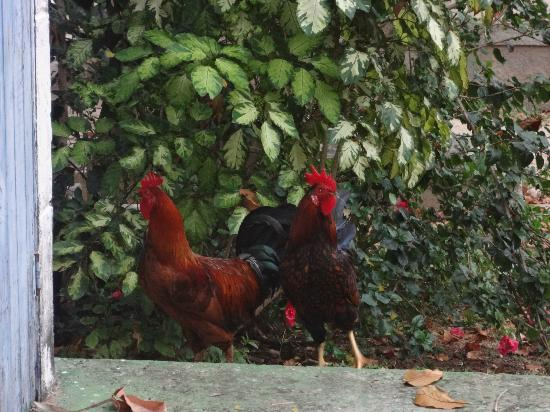 Casa de Fondue: fresh chicken in their backyard lol!