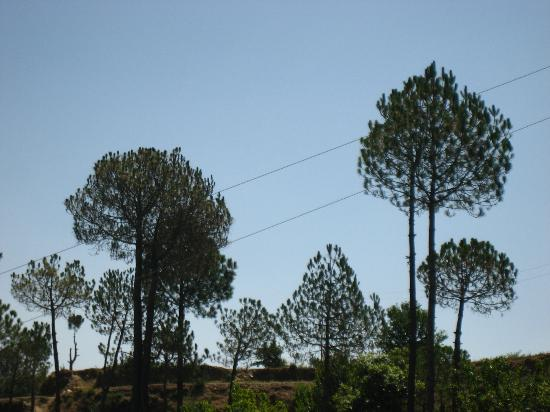 Himalayan Anchor: pines from the balcony