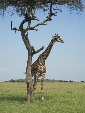 Mara Bush Houses, Asilia Africa: Game drive view...