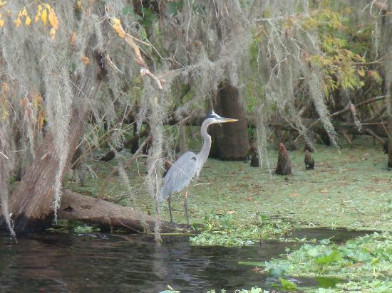 Blue Heron River Tours: heron