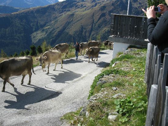 Zillertaler Höhenstraße: Cows on parade